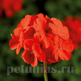 Пеларгония Pinto Premium Deep Scarlet Improved  - 3 шт