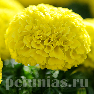 Бархатцы Taishan Yellow Improved - 5 шт