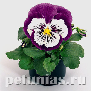 Виола Cats Purple&White - 5 шт