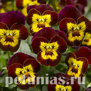 Виола Penny Red with Yellow Face - 5 шт
