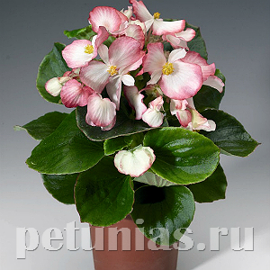 Бегония Volumia Rose Bicolor - 5 шт