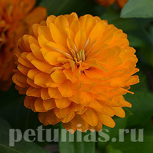 2019 Цинния Zahara Double Bright Orange - 5 шт