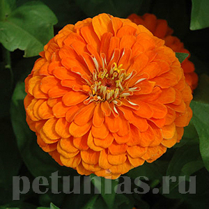 2019 Цинния Benary's Giant Orange - 5 шт